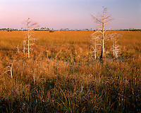 Sunrise light on Dwarf Cypress trees and grassland; Everglades National Park, FL