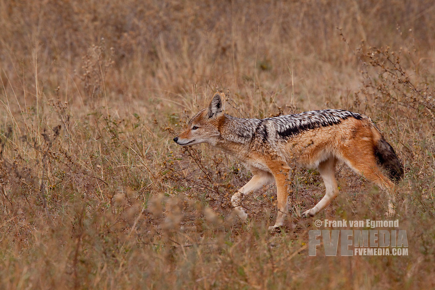 Black-backed Jackal (Canis mesomelas)..On the prowl..June 2009, winter..Balule Private Nature Reserve, York section..Greater Kruger National Park, Limpopo, South Africa.
