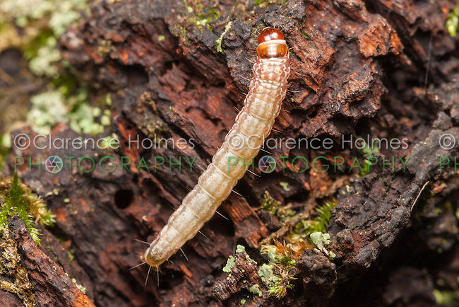 A Dusky-backed Filatima moth (Filatima pseudacaciella) caterpillar (larva) explores decaying wood.