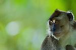 Long-tailed Macaque (Macaca fascicularis), Tawau Hills Park, Sabah, Borneo, Malaysia