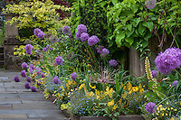 Blue flowering ornamental onion Allium 'Lucy Ball' in mixed border by path; Chanticleer garden