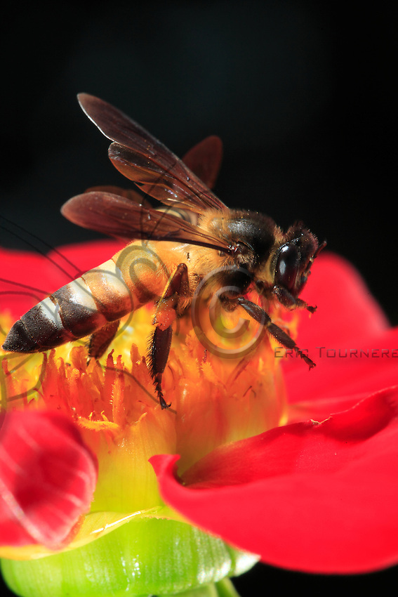 Giant bee on a flower.