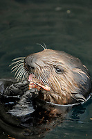 Southern Southern sea otter, Enhydra lutris nereis, pup feeding on a crab, Monterey, California, USA, Pacific Ocean, national marine sanctuary, endangered species, vertical