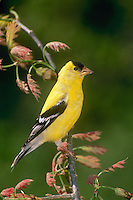 Male goldfinch on branch of oak tree in spring as leaves open, midwest USA