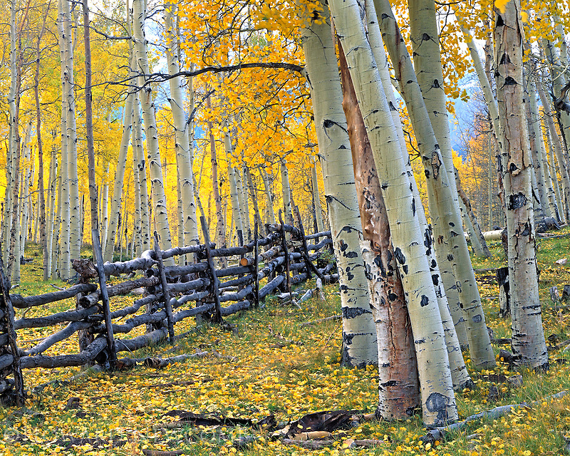 Colorado fall deep in the Aspen forest below Mt Sneffels.