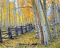 Colorado fall deep in the Aspen forest below Mt Sneffels.