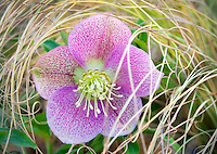 Pink Lady Hellebore flower in fall grasses. Al's Nursery. Woodburn, Oregon