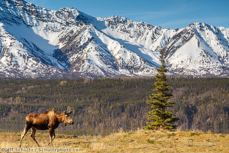 Spring landscape of moose feeding at Matanuska Glacier overlook with Chugach Mountains in the background.  Glacier View Area of Matanuska Valley  Spring Southcentral, Alaska <br /> <br /> Photo by Jeff Schultz (C) 2016  ALL RIGHTS RESERVED