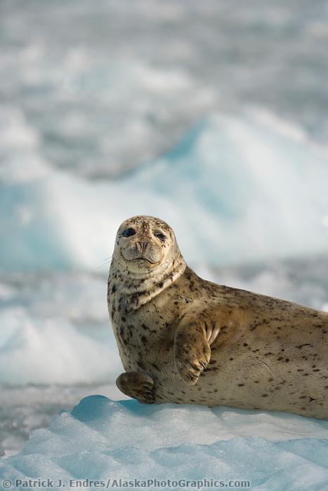 Harbor seal hauled out on icebergs, western Prince William Sound, Alaska.