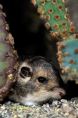 MU31-008c  Silky Pocket Mouse among desert cactus habitat - Perognathus flavus