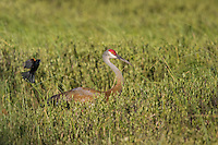 Sandhill crane being attacked by a red-winged blackbird