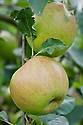 Apple 'Belle de Boskoop' early September. A Dutch dual-purpose, dessert-culinary apple first discovered at Boskoop, near Gouda, in 1856. Grown all over Europe, and quite common in British gardens. A triploid that requires a pollinator. Sometimes sold as 'Schone van Boskoop'.