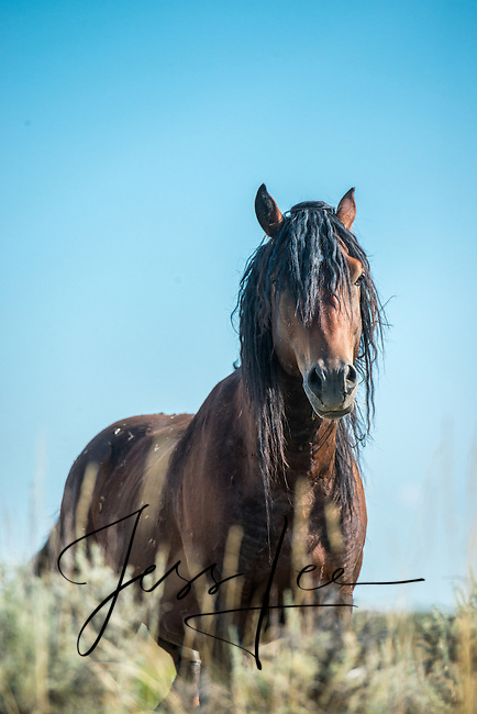 Wild Horse, Wyoming mustang, stallions, Photography by Jess Lee