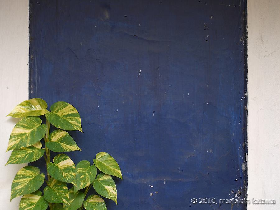 Not all plants we see on walls in Panaji are opportunistic ferns or molds: here we see a a well-tended (and freshly-watered, there are droplets on the leaves) plant clearly arranged for contrast with the well-maintained blue and white wall.