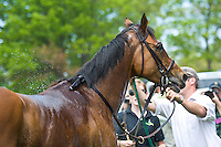21 April 2012:   Via Galilei (IRE) after winning the Temple Gwathmey (gr III) hurdle stakes at Middleburg Spring Races at Glenwood Park in Middleburg, Va. Via Galilei is owned by Irvin Naylor and trained by Joseph Delozier III.   Susan M. Carter/Eclipse Sportswire
