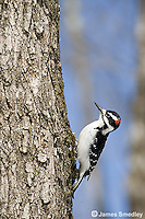 Downy woodpecker on a tree