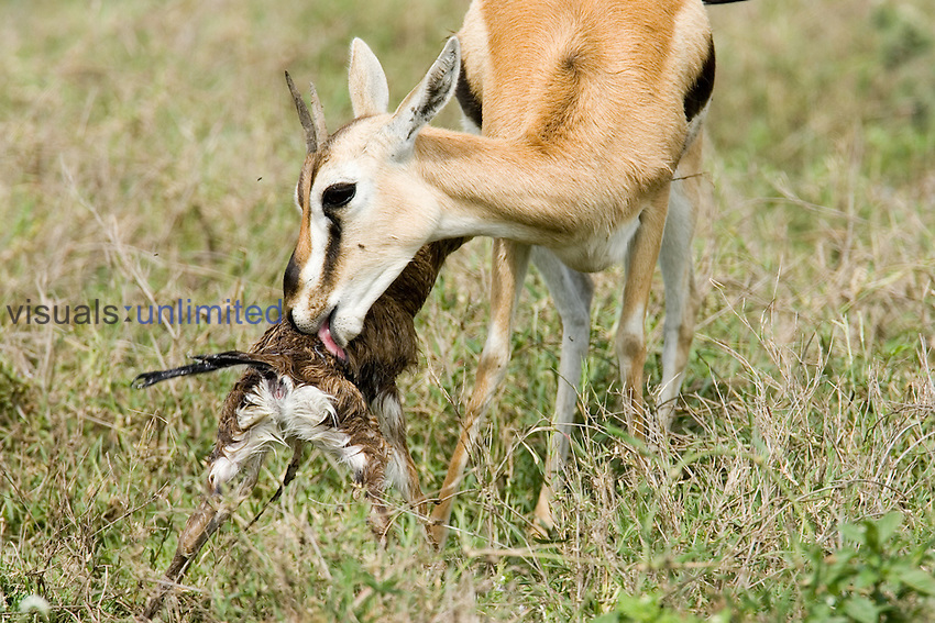 A Thomson Gazelle ,Gazella thomsonii, cleaning its newborn fawn, East Africa.