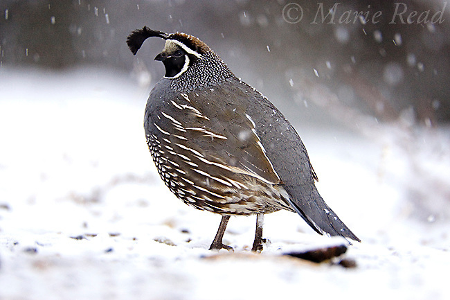 California Quail (Callipepla californica), on snow-covered ground in winter with snow falling, Mono Basin, California, USA