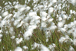 Cotton Grass, Eriophorum angustifolium, Hothfield Heathlands, Kent UK, Kent Wildlife Trust