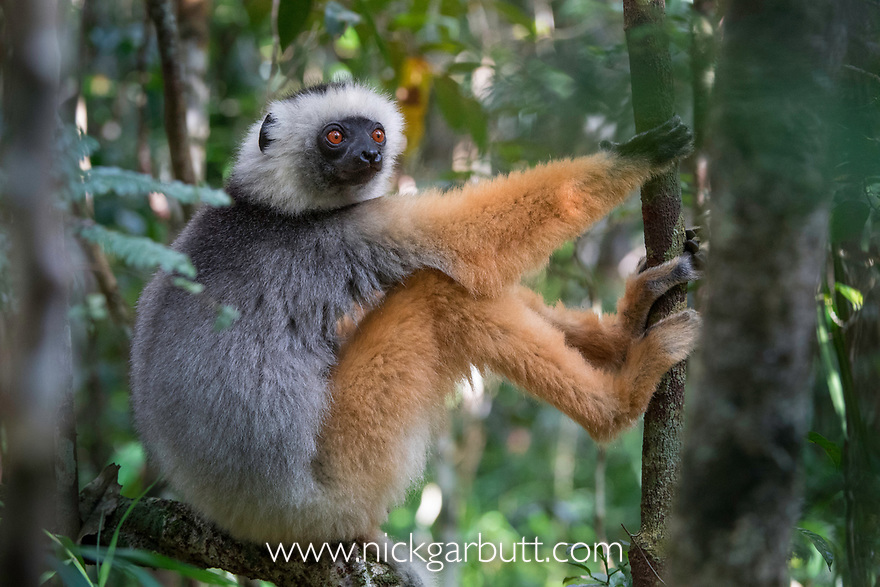 Diademed Sifaka (Propithecus diadema) in montane rainforest mid-storey. Andasibe-Mantadia National Park, eastern Madagascar. (Endangered)