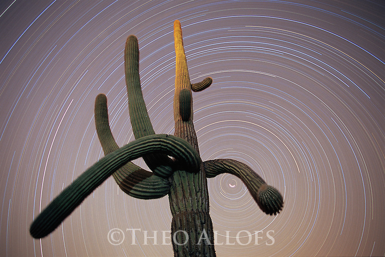 Arizona, Organpipe National Monument, saguaro cactus with star trails in night sky