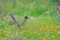 Greater Roadrunner, Geococcyx californianus,adult in wildflowers Golden Flax (Linum berlandieri) , Choke Canyon State Park, Texas, USA