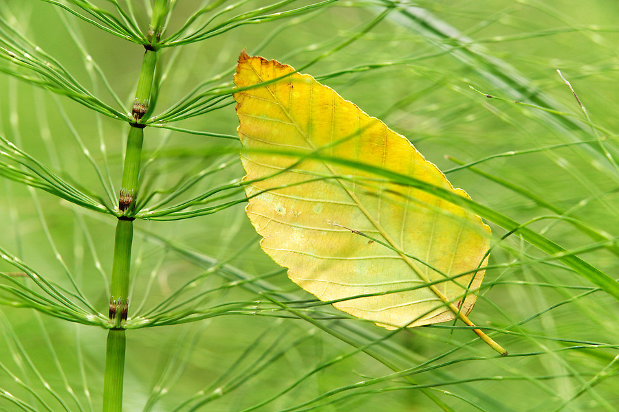 Yellow alder leaf caught in common horsetail, Longmire, Mount Rainier National Park, Washington, USA