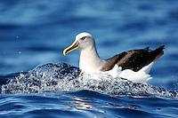 Buller's Albatross off Wollongong