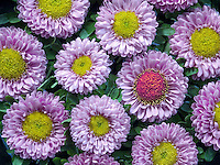 Close up of aster blossoms.
