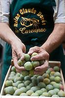 Europe/Europe/France/Midi-Pyrénées/46/Lot/Carennac: Prunes lors de  la Fête de la Prune Reine-Claude Dorée de Carennac.