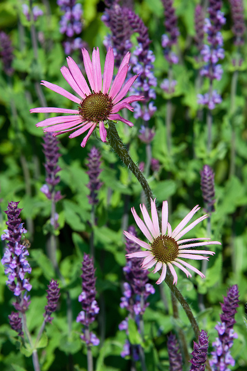 Echinacea tennesseensis and Agastache 'Blue Fortune', early July. Also known as the Tennessee coneflower or Tennessee purple coneflower, and Giant hyssop.