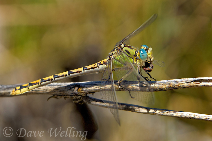389690010 a wild female great basin snaketail ophiogomphus morrisoni  feeds on a damselfly along the owens river benton crossing road mono county california