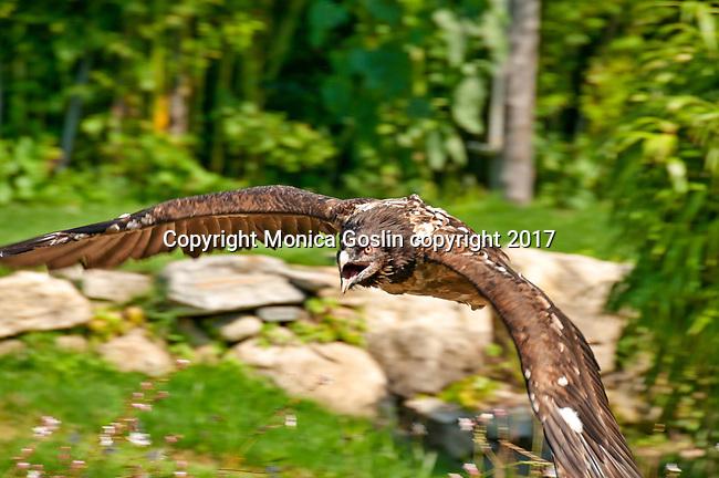 Bearded Vulture at the Locarno Bird Show, Falconry Show (Falconeria Locarno)
