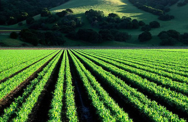 A crop of PEAS grow in the rich soil of the - SALINAS VALLEY, CALIFORNIA