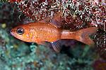 Apogon planifrons, Pale cardinalfish, Bahamas, Exuma