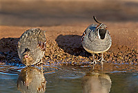574470014 wild male and female gambel's quail drink from a pond near green valley arizona united states