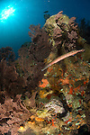 A trumpet fish (Aulostomus maculatus)amongst a colourful St. Lucian seascape