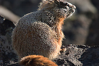 The Yellow-bellied Marmot (Marmota flaviventris), also known as the Rock Chuck, is a large ground squirrel that ives in the western United States and southwestern Canada, including the Rocky Mountains and the Sierra Nevada.