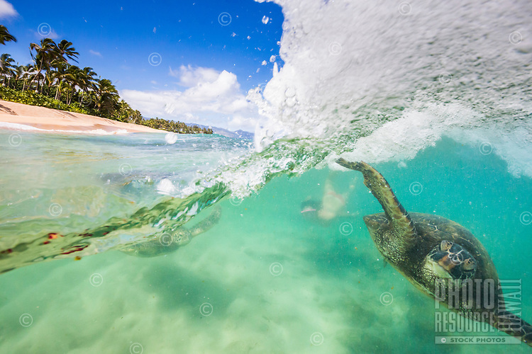 Woman and green sea turtles body surf the shorebreak on the North Shore of O'ahu.