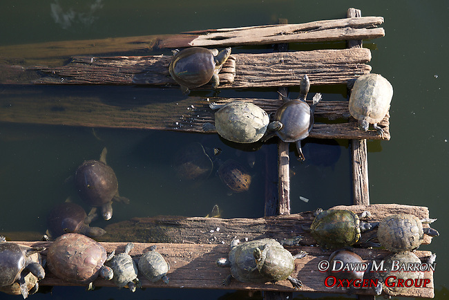 Turtles In Pond, Maha Vijaya Pagoda