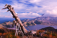 Standing Dead Tree on Mt. Margaret Overlooking Spirit Lake and Cloud-Obscured Mt. St. Helens, Mt. St. Helens National Volcanic Monument, Washington, US