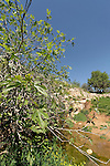 Israel, Jerusalem Mountains. A fig tree by Ein Tzuba (Tzuba spring) at the foothill of Mount Tzuba
