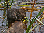A muskrat munches on a yellow pond lily in Poor Farm Swamp, Amherst, Massachusetts.