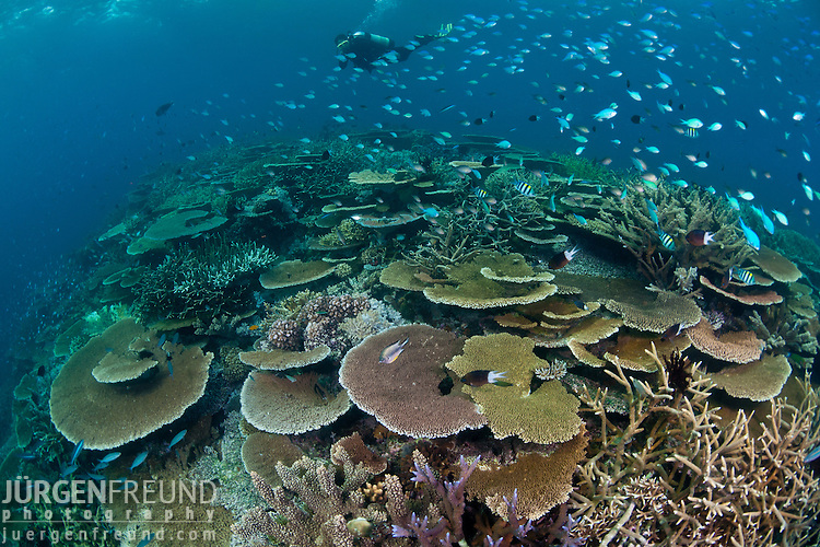 Superior Acropora Table And Staghorn Coral Reef, GBR, Australia