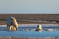 . . . and your buddy acts like he didn't even notice.  Young male Polar Bears (Ursus maritimus) congregating, testing the ice and play fighting before the freeze-up.