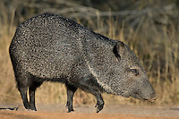 650520235 a wild javelina or collared peccary dicolyties on beto gutierrez santa clara ranch hidalgo county lower rio grande valley texas united states