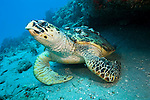 Hawksbill Sea Turtle, Eretmochelys imbricata, photographed in Palm Beach County, FL. Hawksbills live exclusively on coral reefs where they eat primarily sponges. Hawksbills found along the east coast of Florida are born in the Caribbean and migrate northward to mature and feed on the abundant sponges found along the Palm Beaches.
