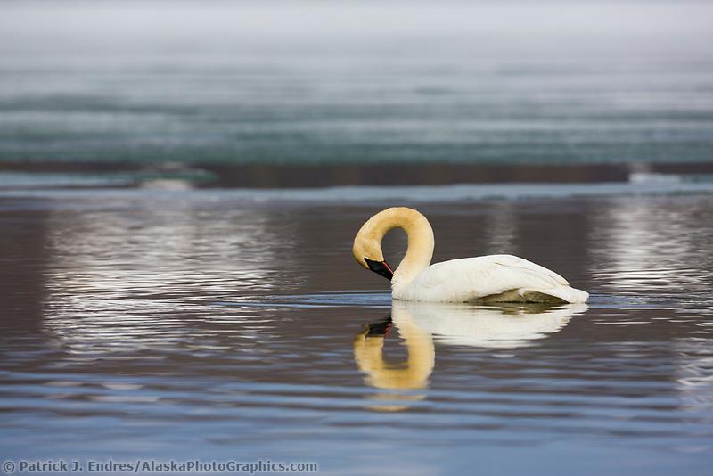 Trumpeter swan, Summit lake, southcentral, Alaska.