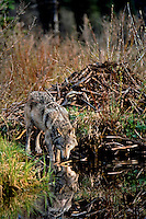 Gray wolf (Canis lupus) drinking in beaver pond (beaver lodge is behind wolf).