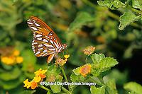 03305-00314 Gulf Fritillary butterfly (Agraulis vanillae) on Lantana (Lantana sp.) NABA Butterfly Park, Mission, TX